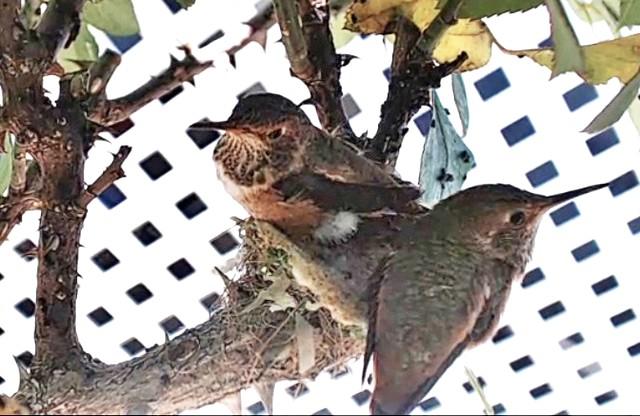 Colibri : Californie (San Clemente) V5hvLb-B-128-18-A