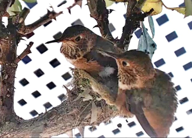 Colibri : Californie (San Clemente) V5hvLb-B-128-18-B