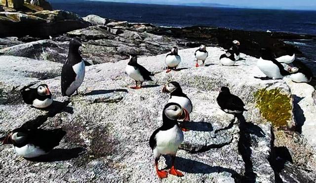 Macareux : Maine (Seal Island) I6hvLb-B-112-17-A