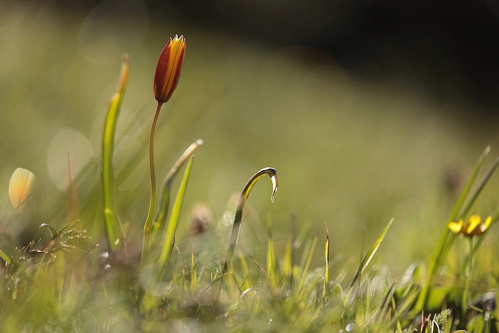 Tulipe australe + MAJ du 31/05/2021 21052510472525981017433315