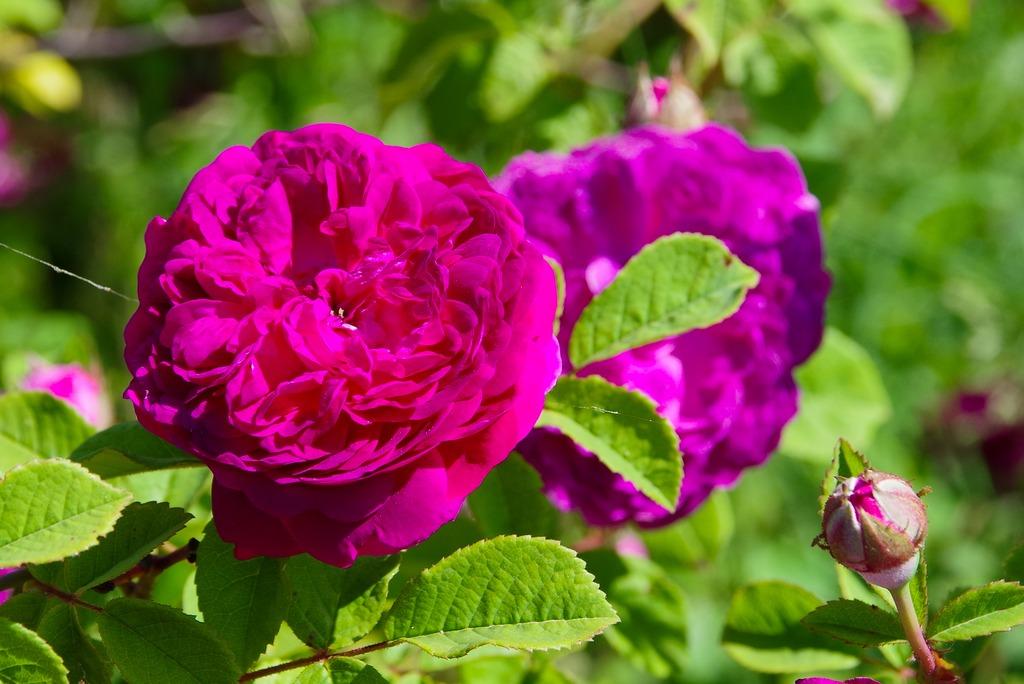 la roseraie de Berty (07) 21061103581023579417458071